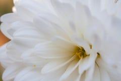 Flor blanca Imagen de archivo