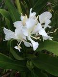 Flor blanca Fotografía de archivo