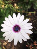 Flor blanca Foto de archivo libre de regalías