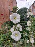 Flor Blanca royaltyfria foton