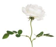 Flor blanca aislada del escaramujo en tronco Foto de archivo libre de regalías