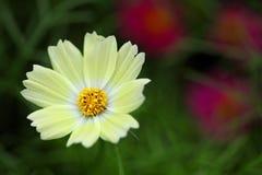 Flor blanca amarillenta Imagen de archivo libre de regalías