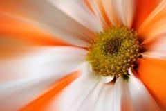 Flor blanca anaranjada de la margarita de Gerber Imagen de archivo