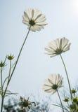 Flor blanca bajo luz del sol Foto de archivo libre de regalías
