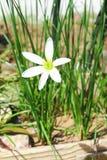 Flor blanca, bivalvo del nothoscordum en jardín fotografía de archivo libre de regalías