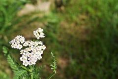 Flor blanca borrosa detrás molida Imagen de archivo libre de regalías
