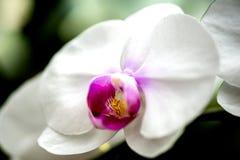 Flor blanca brillante de la orquídea en el jardín Fotografía de archivo