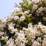 Flor blanca Bush Foto de archivo libre de regalías