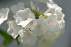 Flor blanca, cierre para arriba Imagen de archivo libre de regalías
