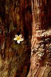 Flor blanca cogida en tronco de árbol Fotografía de archivo libre de regalías