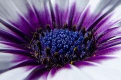 Flor blanca con base texturizada azul rodeada por el polen amarillo y un círculo púrpura brillante imagenes de archivo