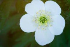 Flor blanca con cinco macros cercanos de los pétalos fotos de archivo libres de regalías