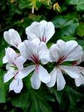 Flor blanca con color rojo central imagen de archivo