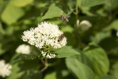 Flor blanca con dos abejas Imagen de archivo