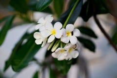 Flor blanca con el fondo de la falta de definición Plumeria, flor del nacional del ` s del Lao de Dok Champa fotos de archivo libres de regalías