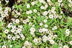 Flor blanca con el fondo de la hoja Imágenes de archivo libres de regalías