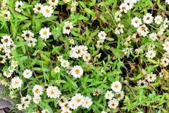 Flor blanca con el fondo de la hoja Foto de archivo libre de regalías
