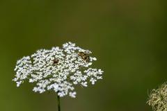 Flor blanca con flores minúsculos y una abeja que se sienta en ella Fotos de archivo libres de regalías