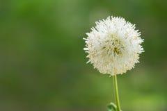 Flor blanca con fuera del fondo del verde del foco Imágenes de archivo libres de regalías