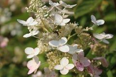 Flor blanca con la abeja en ella foto macra Imagenes de archivo