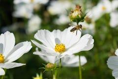 Flor blanca con la abeja en vuelo Imagen de archivo