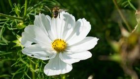 Flor blanca con la abeja en vuelo Fotos de archivo libres de regalías