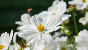 Flor blanca con la abeja en vuelo Fotografía de archivo libre de regalías