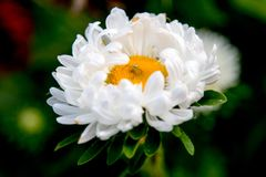 Flor blanca con la araña en el centro Imagen de archivo
