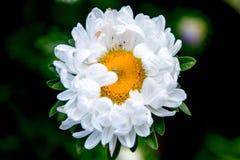 Flor blanca con la araña en el centro Imágenes de archivo libres de regalías