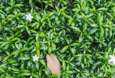 Flor blanca con la hoja Imágenes de archivo libres de regalías