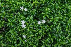 Flor blanca con la hoja Foto de archivo
