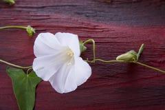 Flor blanca con la hoja Imagen de archivo