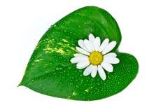 Flor blanca con la hoja verde aislada en blanco Foto de archivo