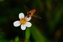 Flor blanca con la isla de las abejas Imágenes de archivo libres de regalías