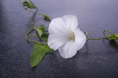 Flor blanca con las hojas Imagenes de archivo