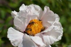 Flor blanca con polen de acopio interior de las abejas Imagen de archivo