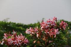 Flor blanca con rosa del borde Fotografía de archivo