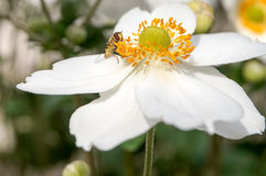 Flor blanca con un cierre de la avispa para arriba Imágenes de archivo libres de regalías