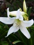 Flor blanca - Dalia arquea abajo con un verde se va hacia fuera enfocado Fotografía de archivo libre de regalías