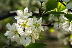 Flor blanca de Apple Foto de archivo