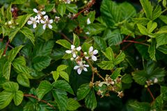 Flor blanca de Blackberry Foto de archivo