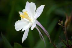 Flor blanca de Columbine (Aquilegia) Imagen de archivo