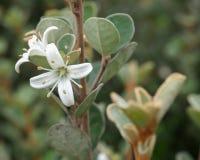 Flor blanca de Correa Imagen de archivo