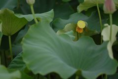 Flor blanca de Jiangxi Guangchang Lotus-Lotus Fotografía de archivo