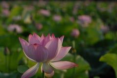 Flor blanca de Jiangxi Guangchang Lotus-Lotus Imagen de archivo libre de regalías