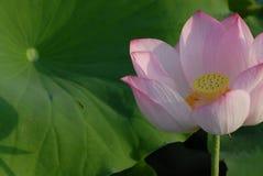 Flor blanca de Jiangxi Guangchang Lotus-Lotus Imagenes de archivo