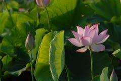 Flor blanca de Jiangxi Guangchang Lotus-Lotus Fotos de archivo libres de regalías