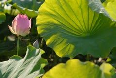 Flor blanca de Jiangxi Guangchang Lotus-Lotus Foto de archivo libre de regalías