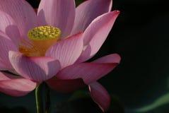 Flor blanca de Jiangxi Guangchang Lotus-Lotus Imágenes de archivo libres de regalías