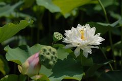 Flor blanca de Jiangxi Guangchang Lotus-Lotus Fotos de archivo